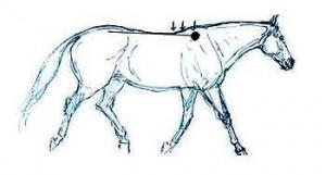 paard gewoon